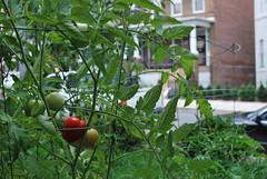 City Tomatoes