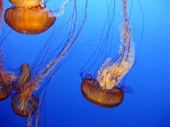 Jellies (flit) Tags: california animal aquarium monterey unitedstates montereybayaquarium indoors event jelly 2009 invertebrate