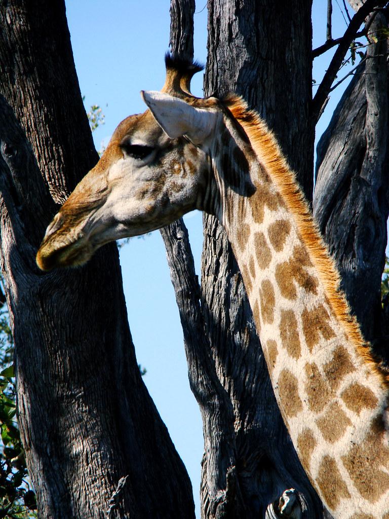 DSC07340 Southern Giraffe