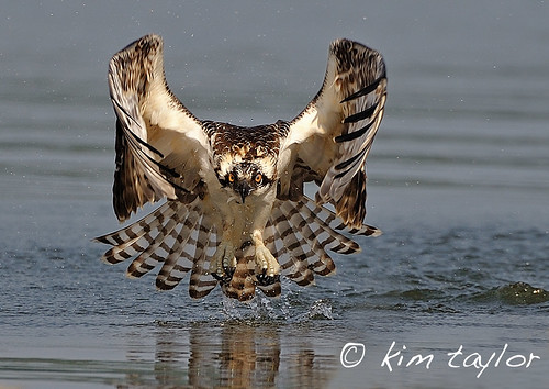 Osprey Chick 3
