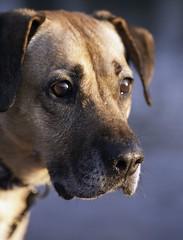 oly (drwhimsy) Tags: dog pet girl lab shepherd older licks oly thepinnaclehof tphofweek7