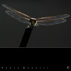 la libellula 1 ..... (paolo.benetti) Tags: macro nikon libellula naturalmente d80