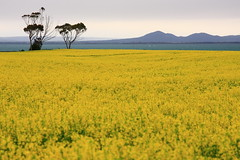 Canola Field Part 3 /  3 (kth517) Tags: spring australia  yellowflowers    canolafield 24105mm bellarinepeninsula victoriastate