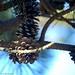 Pine cones. © 2009 Louis Trapani arttrap.com