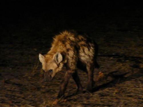 Hiena por la noche