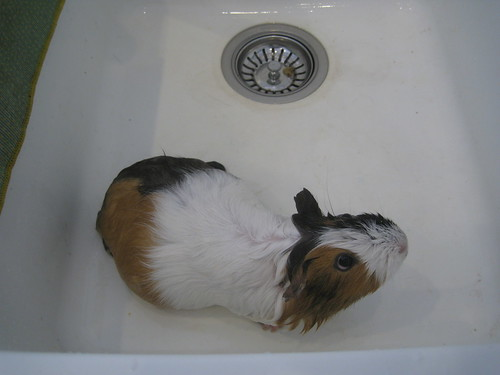 Bath time for the guinea pigs