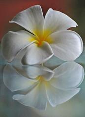 One is never enough ... (IngeHG) Tags: friends white flower reflection home glass yellow garden table singapore frangipani manual redbrown gardenhut plumeriaalba nikond60 theunforgettablepictures balehut gardenfencebokeh