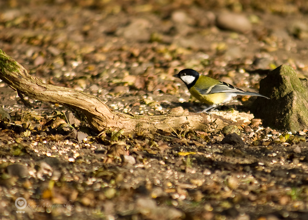 Great tit 2.
