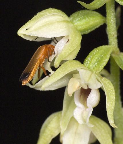 Epipactis, abreuvoirs à insectes 4063014018_e037ae41e8