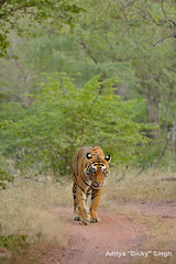 ADS_000005785 (dickysingh) Tags: wild india animal forest mammal track outdoor wildlife tiger bigcat aditya predator ranthambore singh ranthambhore dicky adityasingh ranthamborebagh theranthambhorebagh wwwranthambhorecom