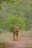 ADS_000005785 (dickysingh) Tags: wild india animal forest mammal track outdoor wildlife tiger bigcat aditya predator ranthambore singh ranthambhore dicky adityasingh ranthamborebagh theranthambhorebagh wwwranthambhorecom