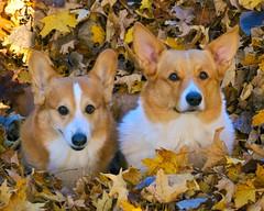 Autumn brothers (wplynn) Tags: autumn dog fall dogs leaves pembroke leaf corgi canine welsh welshcorgi dcp