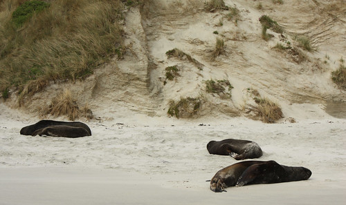 Sea Lions at Sandfly Bay