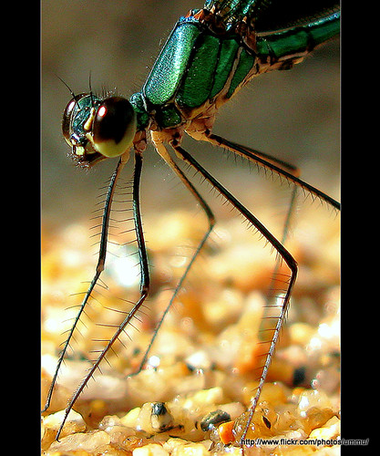 One more dragon..(Damselfly)
