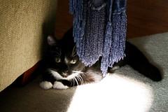 Watching and Waiting (cmcgough) Tags: cats georgia tuxedocats jinx