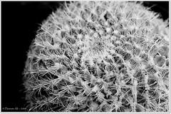 (Hus9) Tags: flowers india nikon ali hyderabad flowershow d90 tokina100mmf28atxprod hwsphotowalk has9 hasnian hwsphotowalkflowershow hus9