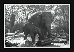 Elephant Love Serie 005 (Mandy van Tilborg) Tags: mandy elephant zoo blijdorp van olifant jong olifanten indische diergaarde aziatische olifantje olifantenjong tilborg