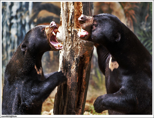 Lok Kawi Wildlife Park - Sun Bear fighting