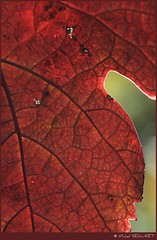 Une fin lumineuse ... (Michel Seguret thanks you all for + 7.700.000 view) Tags: autumn red france macro green rot art fall nature automne season rouge leaf vineyard rojo nikon flickr artist arte kunst postcard herbst natur sigma natura automn pro otoo d200 iq autunno rosso vigne shiningstar naturesbest feuille temporada weinberg artiste mbp smrgsbord photographe saison herault cartepostale stagione kartpostal royalgroup autonno poussan flickraward diamondstars thisphotorocks mostbeautifulpicture nikonflickraward nikonflickraward flickrverte flickrpopularphotographer croquenature excelenceofphotographeraward flickraward mbpictures mostbeautifulpictures michelseguret