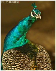 Peacock (T.ALRoumi) Tags: canon photography flickr peacock pic kuwait f28  70200mm kwt     kvwc roumiah alwafrah