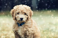"Boudreaux AKA, ""Boo"" in the Snow (mjmatt) Tags: snow puppy goldendoodle boudreaux"