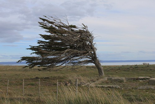Tree shaped by the wind