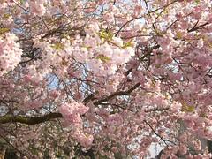 Blossom (ishabluebell) Tags: pink flowers tree catchycolors blossom wimbledon wimbledoncommon pinkflowers blossomtree pinkblossom filltheframe treeinflower treeinblossom earthnaturelife