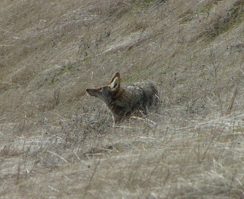 coyote watching hawk