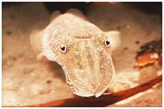 octopus face (Michael_Bole) Tags: fish face michael octopus bole