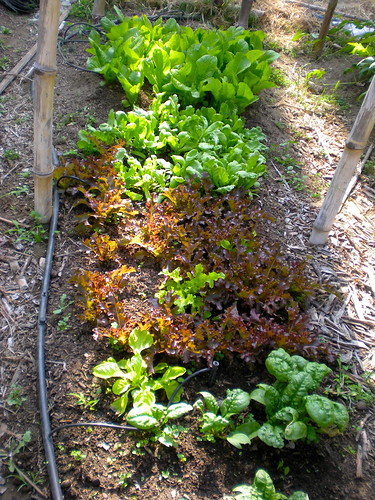 spinach, red and green salad bowl lettuces, tung ho, a-choy lettuce