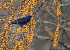 Grandala (by Sumanta Pramanick) Tags: grandala grandalamale highaltitudebirds northsikkim lachenoutskirts lachenvillage thanguvillage cibacaberry