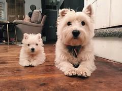 Decorum (C.Elston) Tags: westie west highland terrier dog white puppy betty dot doggy decorum
