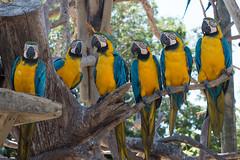 Family Dinner, Official Portrait (OneEighteen) Tags: cartagenadeindias colombia parrots guacamayos humor