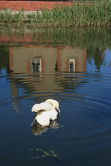 Reflections (CarolAnn Photos) Tags: reflection bird swan eos400d beginnerdigitalphotographychallengewinner