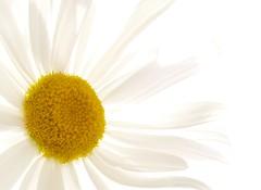 For a bright sunday (Kirsten M Lentoft) Tags: sky white flower macro garden giant chapeau daisy masterphotos worldbest kirstenmlentoft
