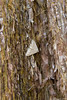 Moth on a Sequoia