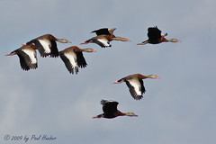Black-bellied Whistling-Ducks in flight (Dendrocygna autumnalis) (Paul Hueber) Tags: usa bird nature animal america canon orlando unitedstates florida wil