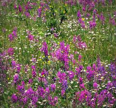Wild Flowers (Colorado Sands) Tags: flowers usa flores nature floral fleur america fleurs us flora colorado unitedstates american wildflowers fiori blommor bloemen sandraleidholdt leidholdt