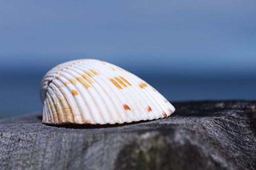 Sea Shell by the Bay of Fundy