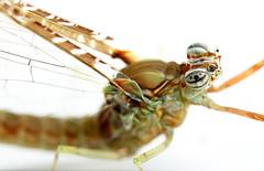 Ephemeroptera (Mayfly, dagsslända)