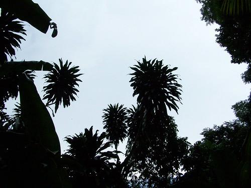 corn plant silhouettes
