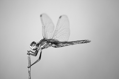 Black And White Dragonfly. Monochrome dragonfly