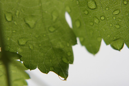 Rain on grapevine leaves