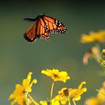 Monarch in Flight thumbnail