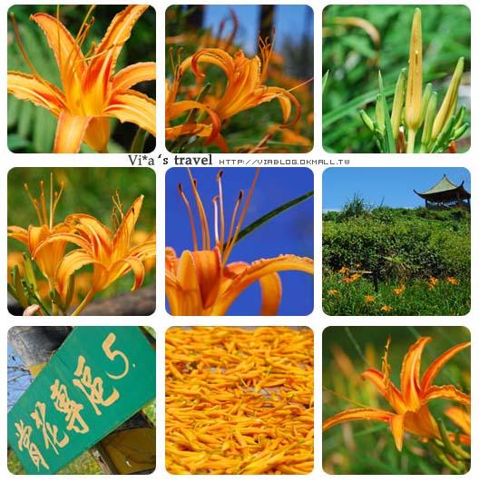 【太麻里金針花季】台東太麻里金針山~金針花季探訪之旅