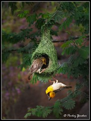 [Explored...!!!] And finally babe opted the greener nest...!!! (Pankaj  Unlimited (pankajz.com)) Tags: travel birds trek nest pair pune weaverbird baya   bhor  pankajunlimited