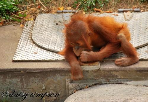 baby orangutan lock