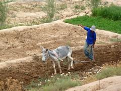 ploughing the fields (Frans.Sellies) Tags: morocco maroc marokko taliouine المملكةالمغربية المغرب تليوين
