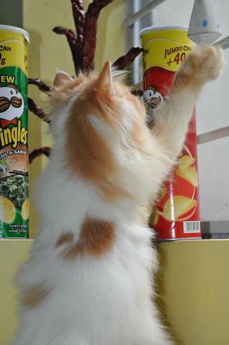 Persian Cats wants Pringles