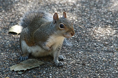 Y a ti, qu te pica? (nadia_the_witch) Tags: park parque london saint animal st mammal james squirrel pica londres sant itchy ardilla mamfero esquirol mamfer nadiatwitch nadiathewitch
